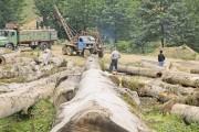 تبرهای بی مهری بر پیکر درختان زاگرس / اجاره جنگل به زغالگیران