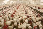 ریشه گرانی مرغ در کجاست؟