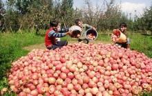 سونامی مشکلات بازار سیب در آذربایجان غربی