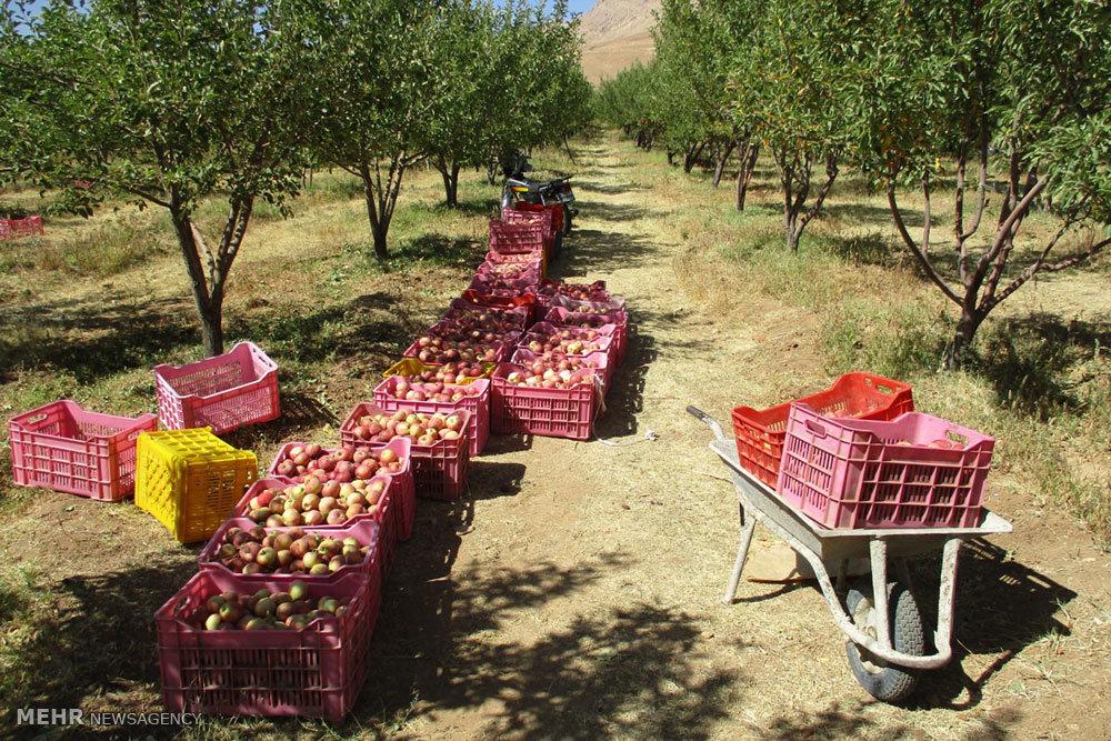 یک مشکل تکراری ؛ سیب آذربایجان غربی روی دست باغداران ماند!