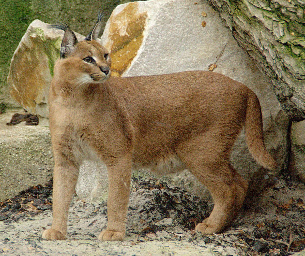 خبرخوش برای علاقمندان به محیط زیست / مشاهده شدن سیاه گوش درحال انقراض در مارمیشوی ارومیه