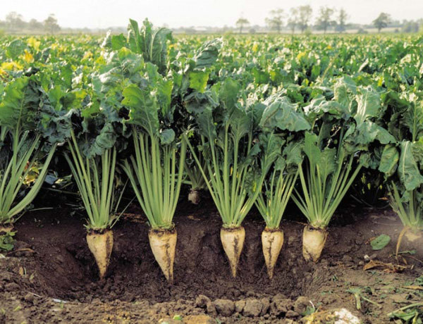 توسعه کشت نشایی چغندر قند در ۲۰۰ هکتار از اراضی زراعی آذربایجان غربی
