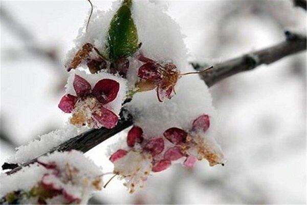سرمازدگی ۹۰ درصدی باغات میوه آذربایجان غربی