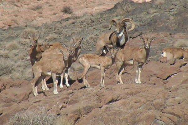 ۱۷ گونه حیات وحش آذربایجان غربی در معرض خطر انقراض