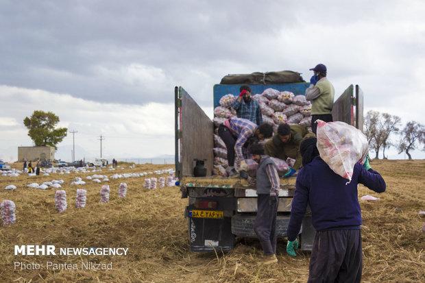 شکایت مردم از گرانی سیب زمینی / صادرات را ممنوع کنید