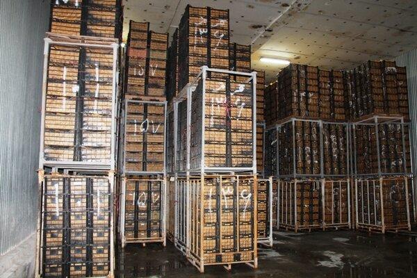 انباشت ۷۳۰ هزار تن سیب در سردخانه های آذربایجان غربی
