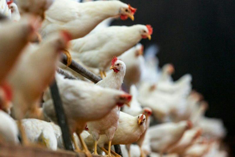 افزایش قیمت مرغ راهکار برگشت تعادل به بازار!